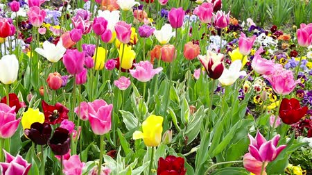 beautiful day : Panning over many different colorful tulips and flowers in spring