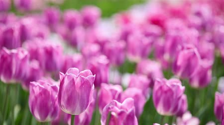 tulipany : Field of many purple tulips blooming in spring