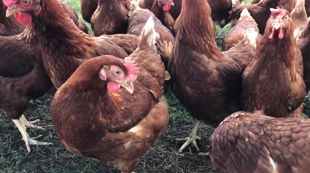 free range : A flock of free range chicken is pecking for a farm field (4K) Stock Footage