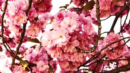cereja : Closeup view of pink cherry blossom on a spring day