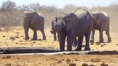 namibya : Herd of elephants running to water hole in Namibian desert (Full HD) Stok Video