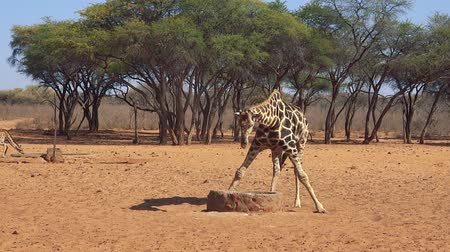 namibya : African Giraffe drinking from the well in Savanna (Full HD)