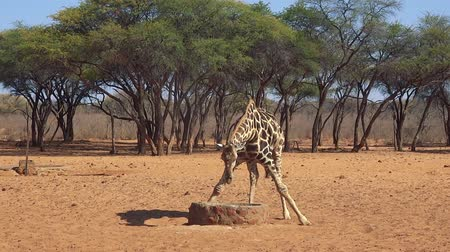 namibya : Giraffe trying to drink water in Namibian savanna (Full HD)