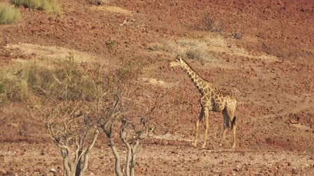 namibya : Giraffe walking slowly in African wilderness (Full HD)
