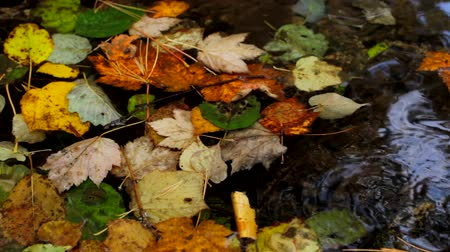 olhando a câmera : Autumn leaves floating on the water