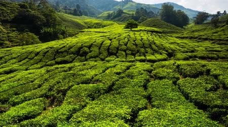 plantio : 4K timelapse. Beautiful landscape at tea plantation. Cameron Highlands, Malaysia.