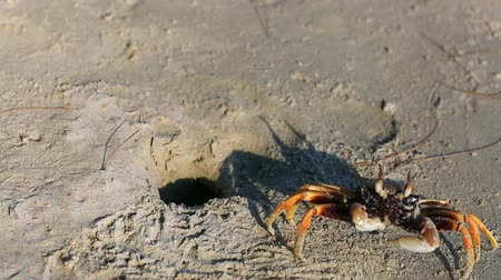 краб : Crab on the sand. Krabi, Thailand.