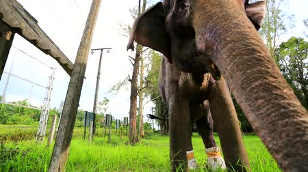 elefante : Closeup view of ill elephant. Krabi TECC elephant hospital in Thailand.