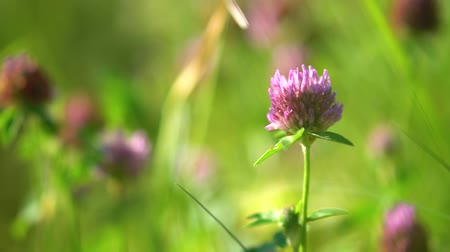 Beautiful meadow in spring. Purple clover in summer in nature. stock video for art background