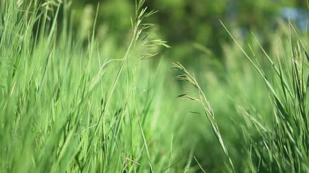 Beautiful lush green grass in the field. Countryside and farm theme. Stock video background