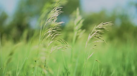 çimenli : Beautiful lush green grass in the field. Countryside and farm theme. Stock video background