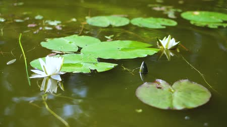 Lily on a polluted river or pond. ecological temma. Stock video