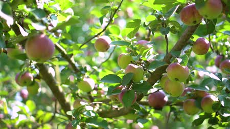 Shiny delicious apples hanging from an orchard. stock video for art background