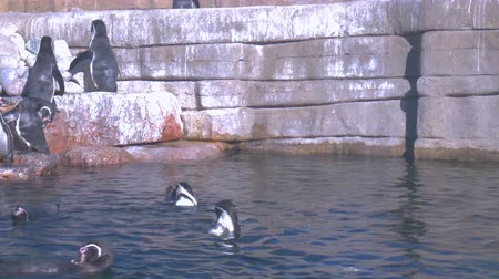 pinguim : Penguins swiming in the water stading on the stones