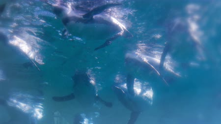 imparator : Penguins awimming underwater view Stok Video
