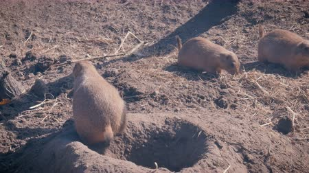 neobdělávaný : Prairie dogs at a burrow entrance