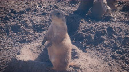 невозделанный : Prairie dogs at a burrow entrance