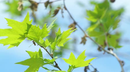 acer : A close-up video of the leaves moving with the light wind gusts under morning sun with a bright blue sky in the background. Stock Footage