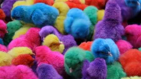 animal jovem : Chicks dyed different colors such as red, purple, green, yellow, blue.