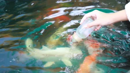 Close up hand feeding milk bottle the carp fish in pond.