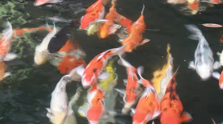 Japan fish call Carp or Koi fish colorful swimming in the pond.