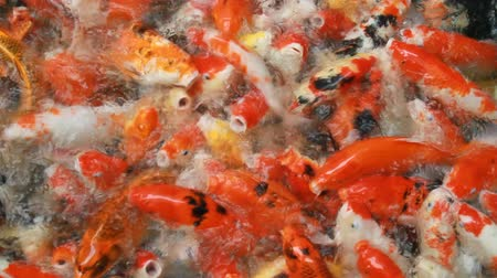잉어 : Japan fish call Carp or Koi fish colorful swimming in the pond.
