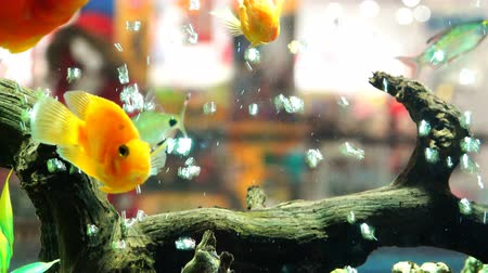 evcil hayvanlar : Goldfish swim in an aquarium with algae and bubbles