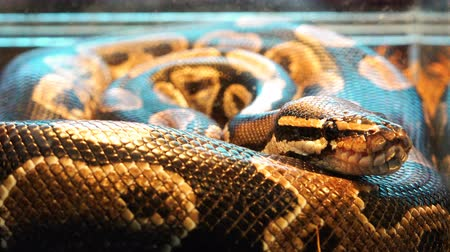 boa constrictor : a poisonous snake hunts its victim and waits for the right hour