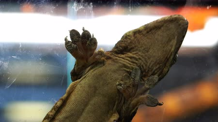 claw feet : a large lizard holds its body on a plaster glued to the glass with tentacles Stock Footage