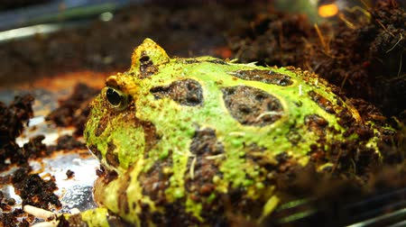 отскок : Large green toad covers outward bulging eyes