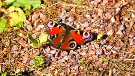 описание : Butterfly with black spots on red wings sitting on stones