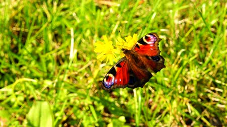описание : furry butterfly of bright color on green grass