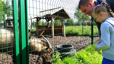 cabra : girl with dad feed grass to goat through fence