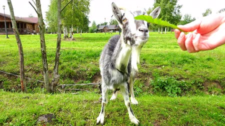 taranmamış : a goat eats ripe foliage with human hands Stok Video