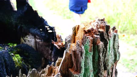 tree stump : people walk along the path past the scorched trees Stock Footage