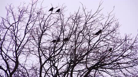 ijesztő : crows on the branches in the dark day.