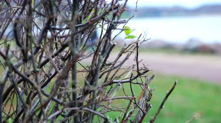 白黒 : trimmed shrub on the sea coast. 動画素材