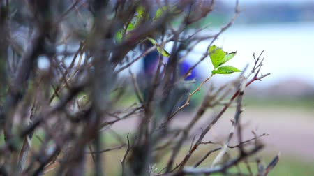 kırılganlık : first green sprout on a tree branch in early spring.