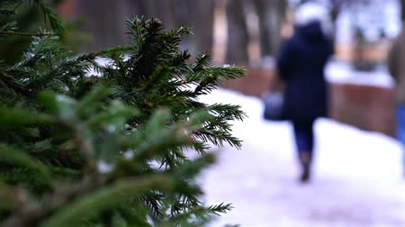 boxwood : fir branches on the background of people walking in the winter Park.