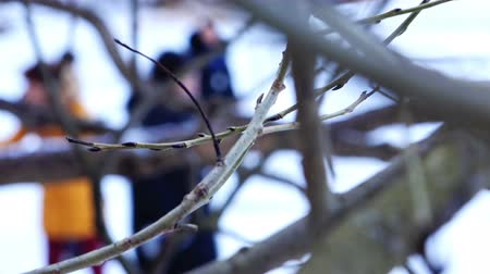dead wood : bare tree branches with maturing buds swaying in the wind. Stock Footage