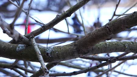 whitebackground : thick and old tree branches swing in winter cold weather.