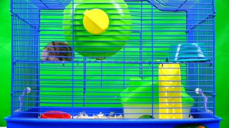 голодный : hamster pet having fun on the slide in a cage. Стоковые видеозаписи