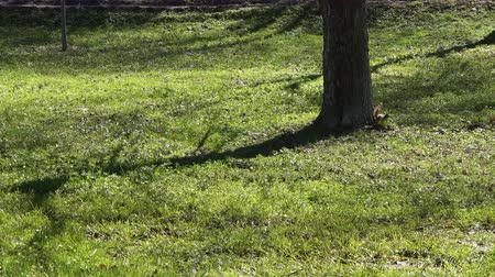 sciurus : Squirrel jumping on grass near tree in park.