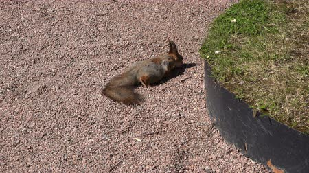 фундук : squirrel sits near the green grass.