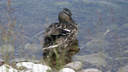 mallard : the duck washes its feathers on the back with a long beak.