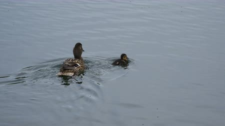 influenzy : mother of the duck swims with her ducklings on the pond.