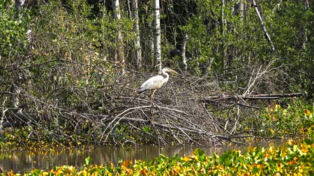 birdie : a stork walks on dry branches.