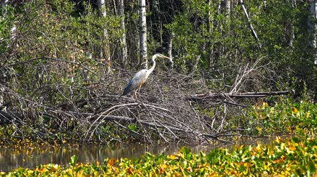 kismadár : a stork stands in a swampy area near the entwined nest.