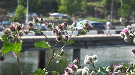 greater : Burdock, medicinal and medicinal burdock.