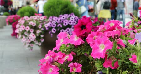 otsu : red petunias in large pots adorn the street and the sidewalk. Stok Video
